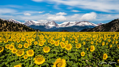 Denver Colorado Sunflowers Wallpapers Chad Ulam Photography