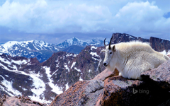 Mountain goat on Mount Evans near Denver Colorado