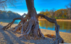 Rooted Mississippi River at Hidden Falls Park in Saint Paul