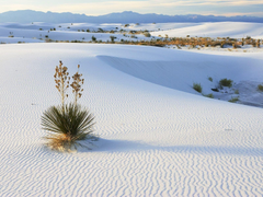 Beach Growing New Mexico Nature Sand National Yucca White Sands