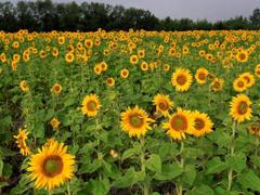 Field of Sunflowers North Dakota Wallpapers by sosyalinsan