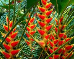 Flowers Heliconias St Lucia Full Green Orange Fern Flower HD