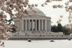 stock photo of cherry blossoms jefferson memorial monument
