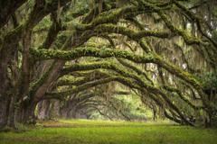 united states state south carolina charleston tree alley oaks HD