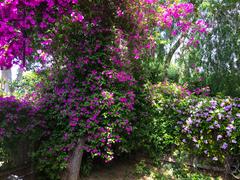 Wallpapers California USA Bougainvillea San Jose Gardens Flowers