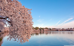 Washington DC Cherry Blossom HD desktop wallpapers Widescreen