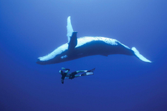 Bucket List Dive With Whales in The Kingdom of Tonga