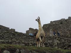 stock photo of cusco llama machupicchu