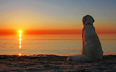 Golden Retriever Wallpapers and Backgrounds Image