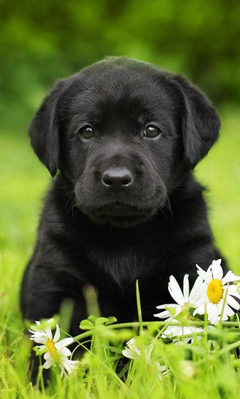 Black Lab Wallpapers For Computer Px teahub io