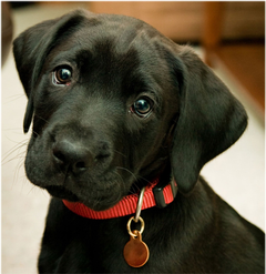 Black Lab Puppy For Widescreen And teahub io