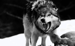 Angry Wolf Wallpapers Cave