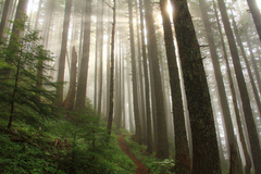 Sunlight streams through a misty forest of tall thin trees with a