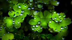 Clover Wallpapers for St Patrick Day