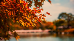 Wallpapers 4k Maple Tree Autumn Lake 4k 4k