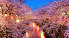 Cherry Blossoms in Tokyo wallpapers