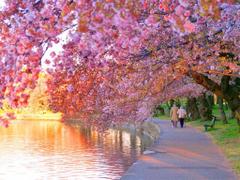 Kamal Shah Cherry Blossom wallpapers hd
