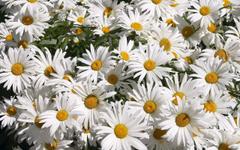 Beautifull Daisy Hd Wallpapers
