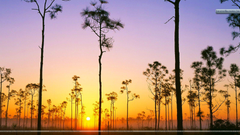 Silhouetted Pines at Sunrise Everglades National Park Florida