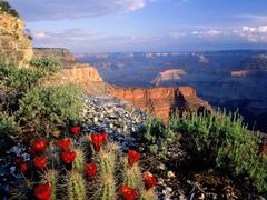 Claret Cup Cactus Grand Canyon National Park A