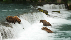 Alaskan brown bears wait for salmon at Brooks Falls in Katmai