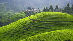 Wallpapers Tea plantation 5k 4k wallpaper Hills trees green