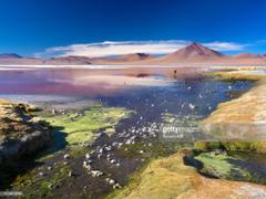 Llamas And Flamingos Congregate By Laguna Colorada Bolivia Stock