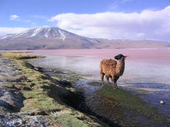 File Llama en la laguna Colorada Potosí Bolivia jpg