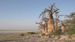 Panning shot of Makgadikgadi Pans and Baobab trees Botswana Stock