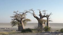 Panning shot of Baobab trees with Makgadikgadi Pans in the