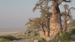 Zoom out on Baobab trees with Makgadikgadi Pans in the backgrounds