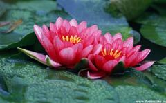 Charming Pink Lotus Flowers Lotus Flower Wallpapers