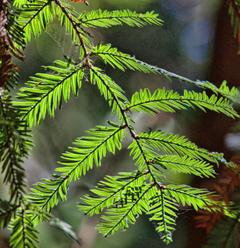 stock photo of huge trees muir redwoods muir woods national