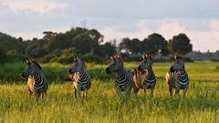 Zebra Migration Okavango Delta Victoria Falls