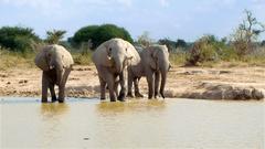 Elephant entering waterhole on a sunny day Nxai Pan National Park