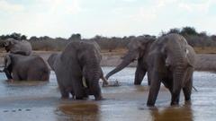Elephant family bathing action in a waterhole Nxai Pan National
