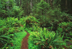 Redwoods Tag wallpapers Trees Forest Redwoods Ferns Nature HD