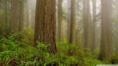 Redwoods Wallpapers