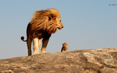 Lion king safari savage wallpapers and image