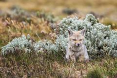 wallpapers fox Tierra del Fuego fox desktop wallpapers