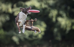Wallpapers jump the game dog dog disk catches Border Collie
