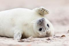 Baby Seals HD Wallpapers New Tab Theme impressivenature