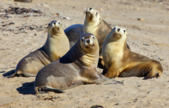 Sea lions seal seals lion wallpapersafari