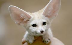 cute fennec foxy
