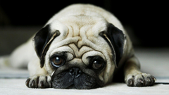 love for pugs and respect