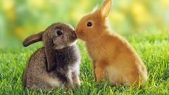 Cute bunnies kissing