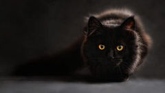 National Black Cat Day 2020 These HD Photos and Wallpapers of Black Cats Will Inspire You to Adopt a Black Kitty