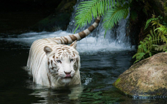this tiger is going extinct save the tigers