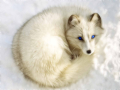 Arctic foxes are so beautifulArctic foxes are so beautifulArctic foxes are so beautiful