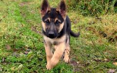 Baby German Shepherd Wallpapers